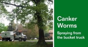 Canker Worms Spraying from the bucket truck