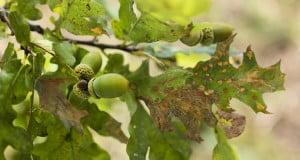 Spots on the Leaves of Oak Tree