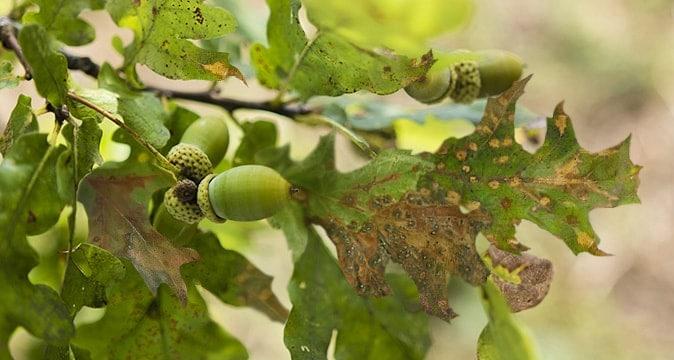 Spots-on-the Leaves-of-Oak-Tree