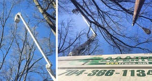 Willow Oak Crown Reduction