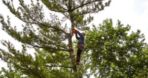 What is Tree Topping? How is tree topping harmful to trees?