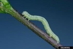 Canker Worm Banding, Tree Banding
